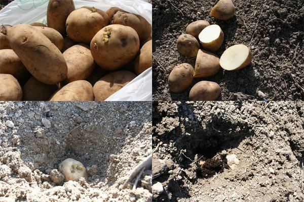 Avremo seminato troppe patate villa villacolle for Quando seminare le patate