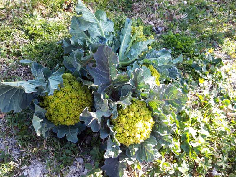 Gli ultimi broccoli