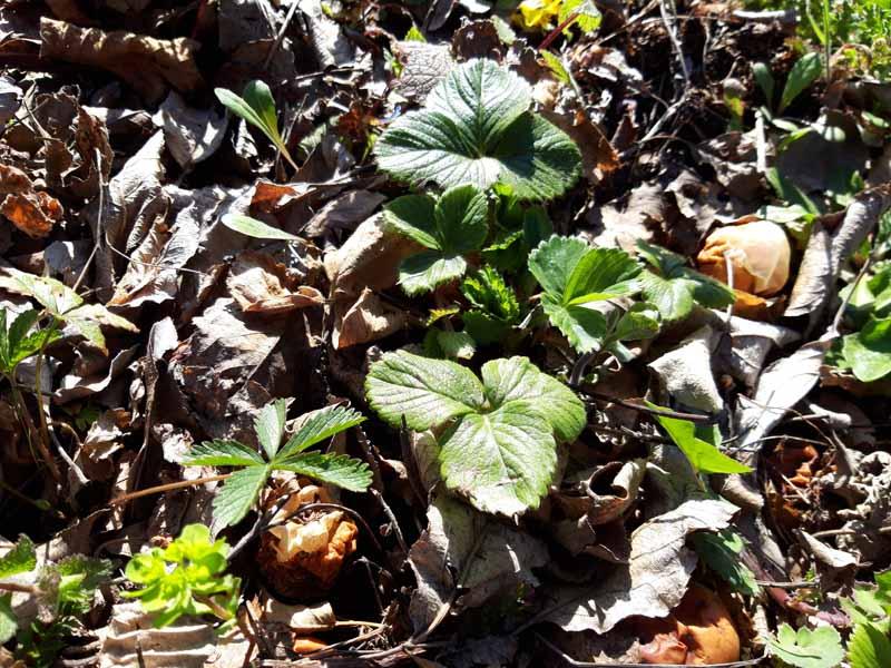 le piante delle fragole da trapiantare