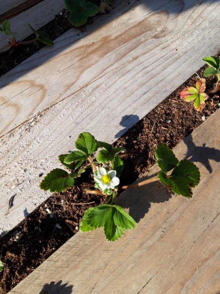 primi fiori sulle fragole
